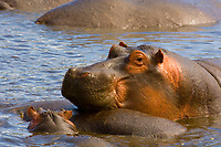 Adult and baby hippos, Ngorongoro Crater, Ngorongoro Conservation Area, Tanzania