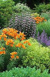 Border in the gravel garden with orange liliies and Phlomis tuberosa 'Amazone'