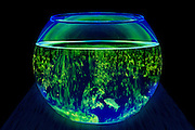 A fish has nowhere to hide in a fishbowl polluted with glowing slime. Blacklight photography.