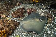 Whiptail Stingray (Dasyatis brevis)<br /> Tower Island<br /> Galapagos<br /> Pacific Ocean<br /> Ecuador, South America