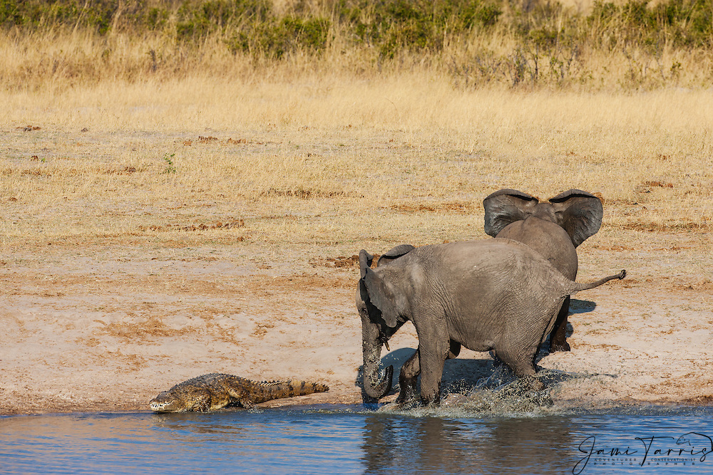 Two young bull African elephants (Loxodonta africana) walking around a water hole confront a Nile crocodile (Crocodylus niloticus) in their pathway, Hwange National Park, Zimbabwe,Africa