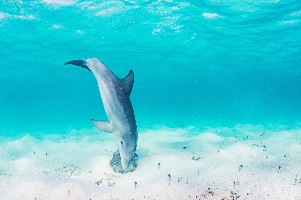 Bottlenose dolphin (Tursiops truncatus) underwater rubbing herself on a sponge off Eleuthera, Bahamas.