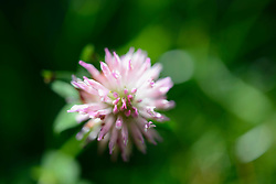 Close-up of Clover (Trifolium) blossom, Munich, Bavaria, Germany