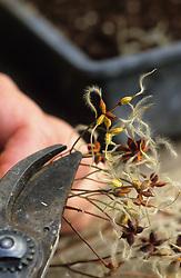 Sowing species clematis - Clematis recta 'Purpurea' <br /> Trimming seedhead