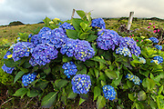 Hortensias aka Hydrangeas decorate the countryside of Pico Island, Azores, Portugal, Northern Atlantic Ocean.
