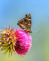 A Vanessa Atalanta (Red Admiral) Butterfly perched atop a vibrant pink flowering thistle. This large butterfly is identified by its striking dark brown, red, and black wing pattern. More specifically, the dark wings possess orange bands that cross the fore wings and on the outer edge of the hind wings; white spots on the dorsal fore wings near the front margin; reddish bars on dorsal surface of all four wings.
