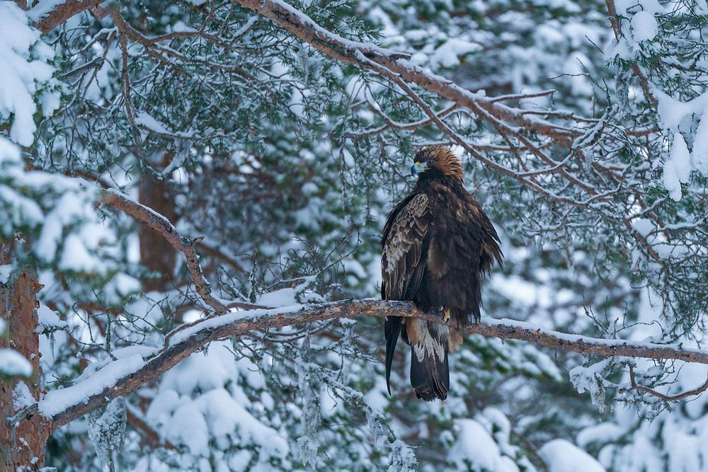 Golden eagle, adult, Aquila chrysaetos, Vitbergets nature reserve, Kalvtrask, Vasterbotten, Sweden