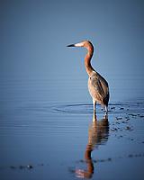 Reddish Heron. Biolab Road, Merritt Island National Wildlife Refuge. Image taken with a Nikon D4 camera and 600 mm f/4 VR lens (ISO 140, 600 mm, f/4, 1/1250 sec).