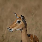 Portrait of a female impala.