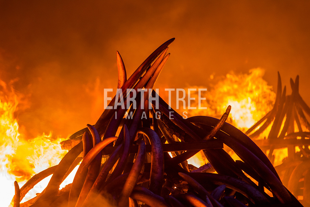 Burning of more that 100 tonnes of Elephant tusks and Rhino horns in Kenya. The tusks alone - from about 8,000 elephants - would be worth more than $105 million on the black market. Conservationists worry that there is a a real threat of elephants becoming extinct in the next 50 years because of poaching bankrolled by the illegal trade in ivory. Photo: Paul Hilton