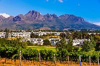 Vineyards at harvest time, Kleine Zalze Wines (De Zalze Golf Club in background), Stellenbosch, Cape Winelands, South Africa. , Stellenbosch, Cape Winelands, South Africa.