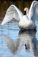 Trumpeter swan on Flat Creek, National Elk Refuge