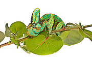 Portrait of a male Veiled Chameleon (Chamaeleo calyptratus) on a branch against a white background.