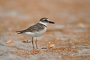 Stock photo of Wilsons plover captured in Florida.  This plover is slightly larger than most other plovers.  The large bill allows it to eat crabs, crayfish and shrimp.