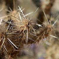 USA, California, San Diego County. Cholla Cactus spines at Anza-Borrego Desert State Park.