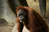 Portait of a female Orangutan. Toronto Zoo.