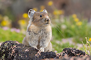 Pika high in the Beartooth Mountains of Wyoming