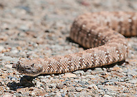Panamint rattlesnake, Crotalus mitchellii stephensi, crossing a road in Wildrose Canyon, Death Valley National Park, California
