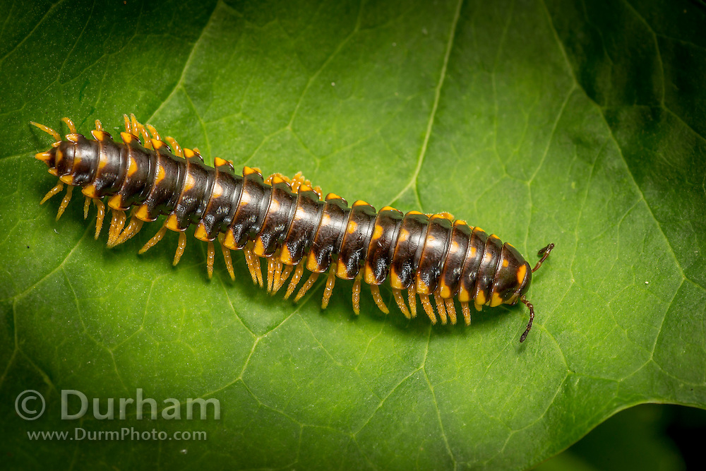 Flatbacked Millipede (Sigmoria trimaculata) photographed at night in the Cherokee National Forest, Tennessee.
