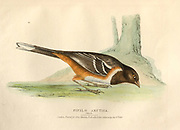 Female Pipilo arctica color plate of North American birds from Fauna boreali-americana; or, The zoology of the northern parts of British America, containing descriptions of the objects of natural history collected on the late northern land expeditions under command of Capt. Sir John Franklin by Richardson, John, Sir, 1787-1865 Published 1829