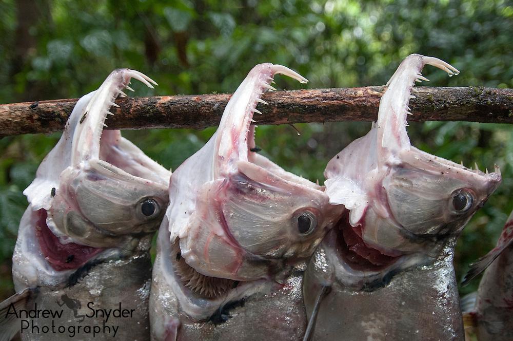 Payara (Hydrolycus scomberoides) before being prepared for dinner. Iwokrama rainforest, Guyana.