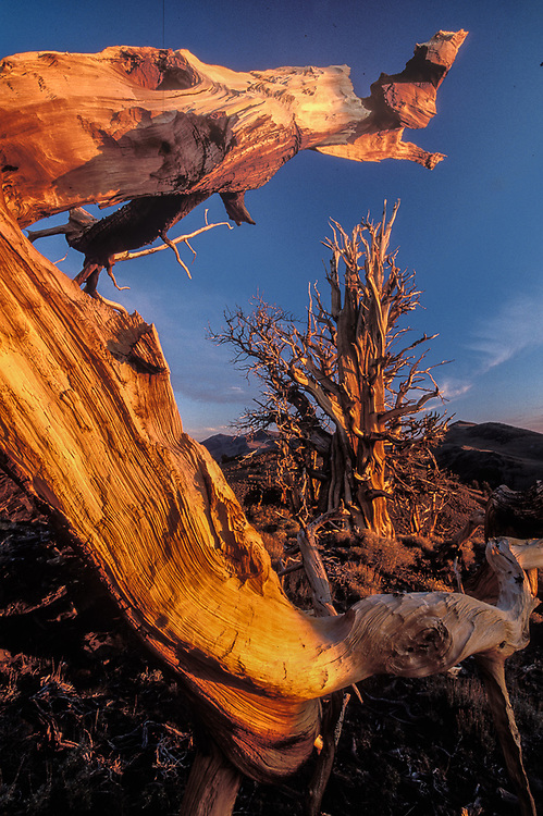 Bristlecone pine, morning light, Bristlecone Pine Protected Area, Inyo National Forest, Caifornia, USA