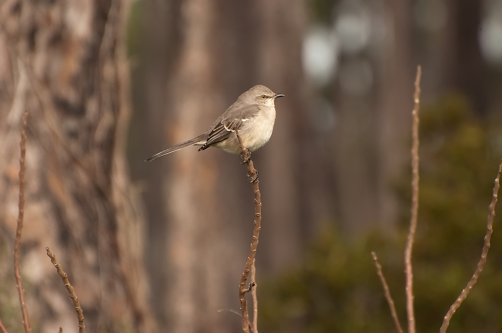 Florida's State Bird - the northern mockingbird.... I've never photographed one of these, as they are so common, I wouldn't have thought of it until this chilly morning. I'm glad I paused long enough to get this shot.