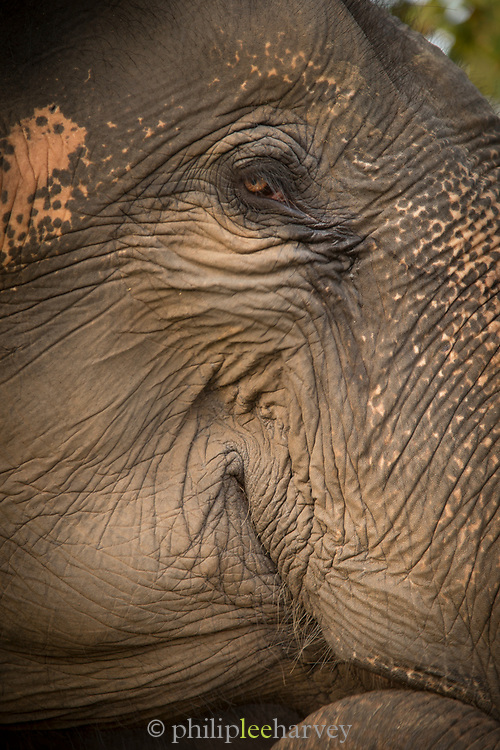 Close-up of Asian elephant head used for tourist safaris, Satpura National Park, Madhya Pradesh, India