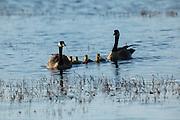 USA, Oregon, Baskett Slough National Wildlife Refuge, Canada Goose (Branta canadensis) pair and their brood.