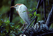 Cattle Egret and young on nest in a rookery in Mississippi.