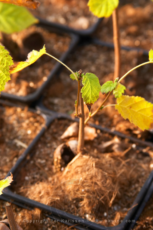 Young plants in the nursery that have been seeded with truffles spores and that will be planted and produce truffles Young hazel plant, detail of acorn Truffiere de la Bergerie (Truffière) truffles farm Ste Foy de Longas Dordogne France