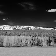 Meadow Aspen Grove - East Jackson Lake, WY - Infrared Black & White