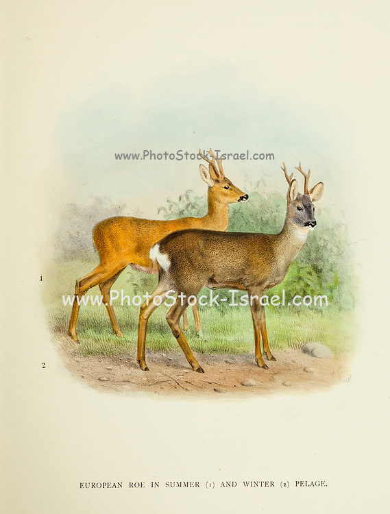 The roe deer (Capreolus capreolus), also known as the roe, western roe deer or European roe, in Winter and Summer pelage from the book ' The deer of all lands : a history of the family Cervidae, living and extinct ' by Richard Lydekker, Published in London by Ward 1898