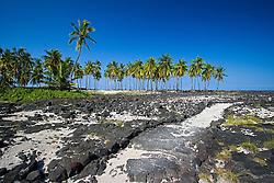 Trail and Coconut Palm grove, Cocos nucifera, Pu`uhonua o Honaunau or Place of Refuge National Historical Park, Honaunau, Big Island, Hawaii