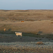 Cattle grazing on the grasslands of Montana.