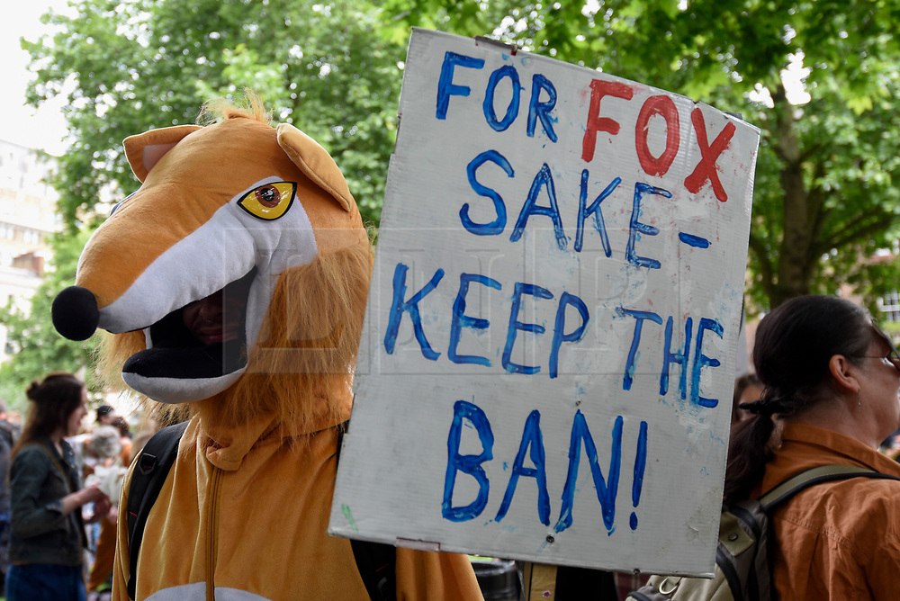 """© Licensed to London News Pictures. 29/05/2017. London UK. A demonstrator wearing a fox costume joins an """"Anti-Hunting March"""" in central London, marching from Cavendish Square to outside Downing Street.  Protesters are demanding that the ban on fox hunting remains, contrary to reported comments by Theresa May, Prime Minister, that the 2004 Hunting Act could be repealed after the General Election.<br />  Photo credit : Stephen Chung/LNP"""