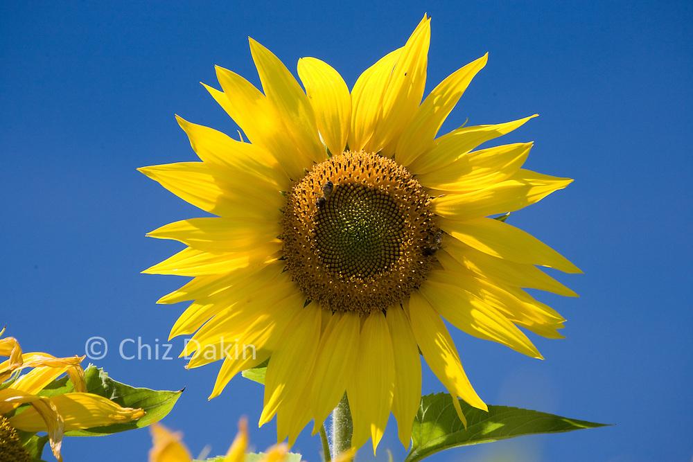 French Sunflower against a blue sky in bright sunlight (Beaujolais region, France)