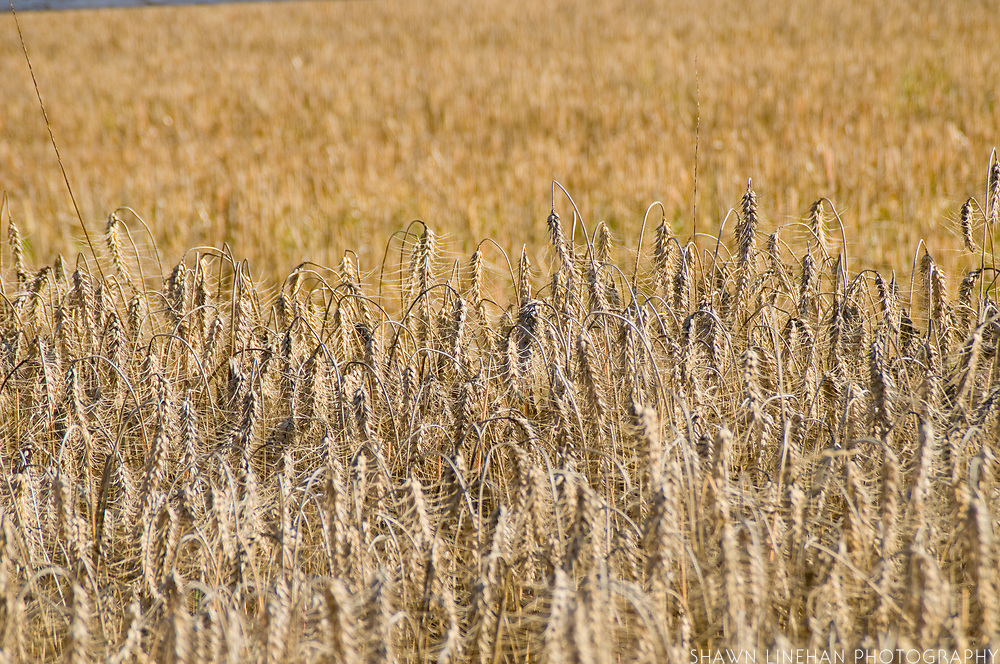 Winter wheat growing at Liepold Farm in Boring, Oregon.  Growing winter wheat is a sustainable farming practice.
