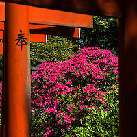 Nezu Shrine Azalea Garden - Nezu Shrine is without a doubt most famous for its unique undulating azalea garden built along hills and trails. It is planted with more than 3000 azaleas of over 100 species.  Next to the Azalea Garden or Tsutsumi Teien, pathways tunnel through hundreds of torii or shrine arches.  Nezu Shrine was established more than 1900 years ago and is therefore one of Tokyo's most important and historic Shinto shrines.
