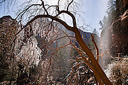 Ice on branches, Lower Emerald Pool waterfall, Zion National Park, Springdale, Utah, USA. The North Fork of the Virgin River carved spectacular Zion Canyon through reddish and tan-colored Navajo Sandstone up to half a mile (800 m) deep and 15 miles (24 km) long. Uplift associated with the creation of the Colorado Plateaus lifted the region 10,000 feet (3000 m) starting 13 million years ago. Zion and Kolob canyon geology includes 9 formations covering 150 million years of mostly Mesozoic-aged sedimentation, from warm, shallow seas, streams, lakes, vast deserts, and dry near-shore environments. Mormons discovered the canyon in 1858 and settled in the early 1860s. U.S. President Taft declared it Mukuntuweap National Monument in 1909. In 1918, the name changed to Zion (an ancient Hebrew name for Jerusalem), which became a National Park in 1919. The Kolob section (a 1937 National Monument) was added to Zion National Park in 1956. Unusually diverse plants and animals congregate here where the Colorado Plateau, Great Basin, and Mojave Desert meet.