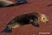 baby Galapagos sea lion, Zalophus californianus wollebaeki, Rabida or Jervis Island, Galapagos Islands, Ecuador, ( Eastern Pacific )