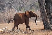 Juvenile African Bush Elephant (Loxodonta africana) Photographed at Lake Kariba National Park, Zimbabwe
