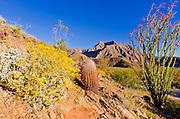 Morning light on barrel cactus and ocotillo under Indianhead Peak, Anza-Borrego Desert State Park, California USA