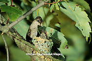 01162-00719 Ruby-throated hummingbird (Archilochus colubris) female feeding nestlings   IL