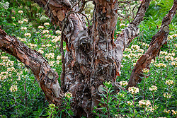 The bark of Polylepis australis - Tabaquillo, Quenoa - rising out of Collomia grandiflora
