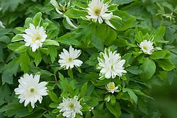 Anemone nemorosa 'Bracteata Pleniflora'. Wood anemone