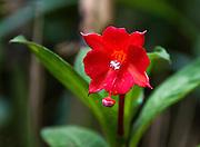 A red flower blooms in Bellavista Cloud Forest Reserve, near Quito, Ecuador, South America.