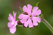 Red Campion, Silene dioica, Monkton Nature Reserve, Kent, UK