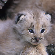 Canada Lynx, (Lynx canadensis) young kitten. Rocky mountains. Montana. Captive Animal.