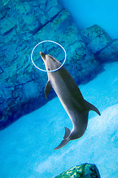 bottlenose dolphin, playing with hula hoop, Tursiops truncatus (c)